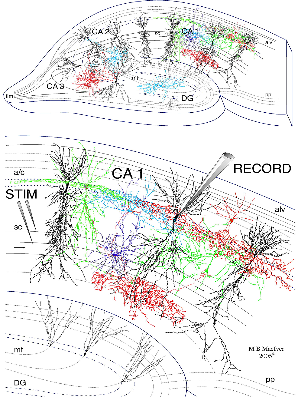 Drawing-of-a-400-µm-thick-rat-hippocampal-slice-used-for-electrophysiological-recordings.