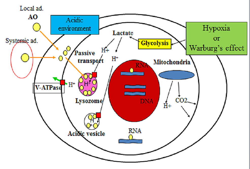 AO-accumulation-in-the-extracellular-space,-cytoplasm,-RNAs-and-lysosomes-(see-text)