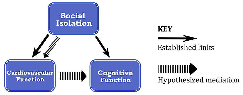Established-and-hypothesized-pathways-between-social-isolation,-cardiovascular-function,-and-cognitive-function.