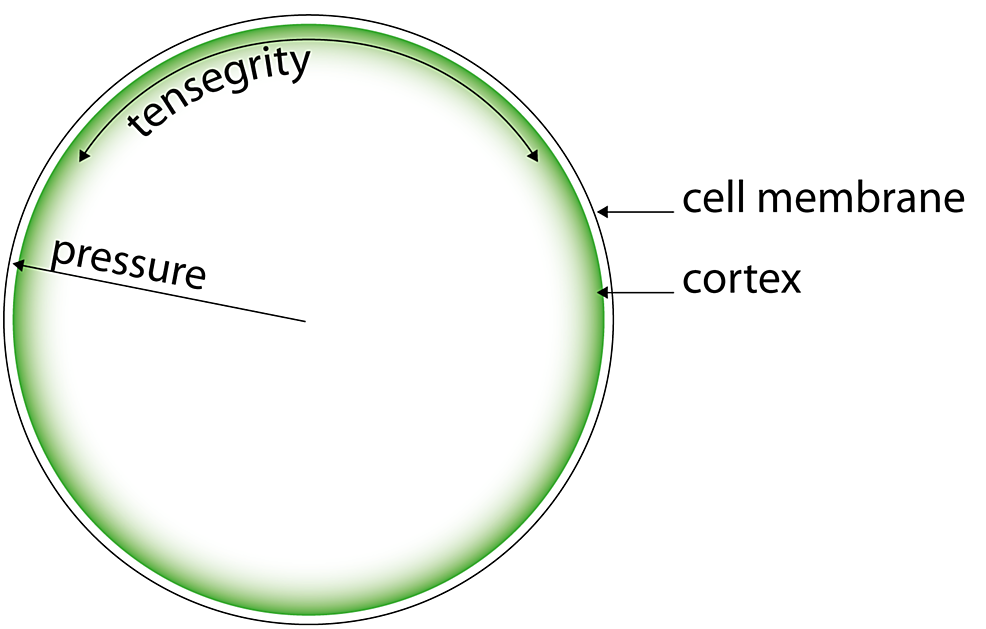 The-cellular-biotensegrity-system