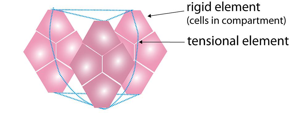 Representation-of-tissue-tensegrity