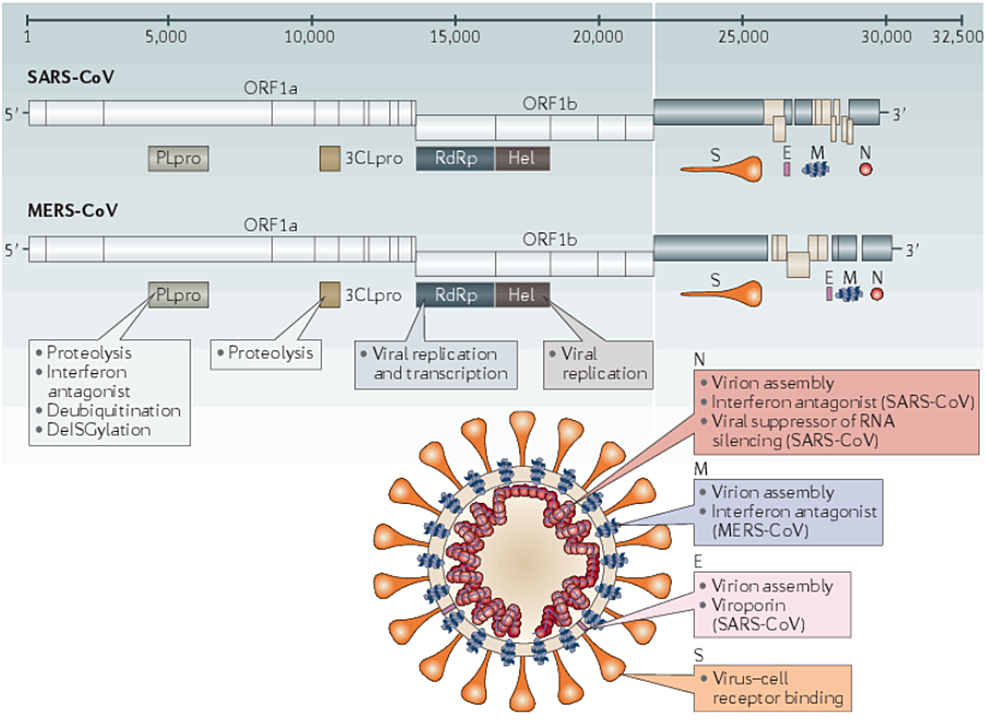 Genomes-and-structures-for-SARS-CoV-and-MERS-CoV