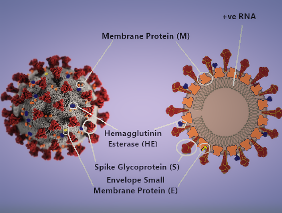 3-D-model-of-the-SARS-CoV-2-virion-and-a-schematic-diagram-of-its-structural-proteins-and-genome.