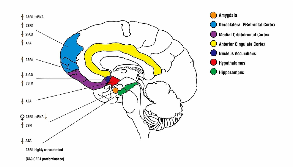 Changes-in-the-endocannabinoid-system-of-the-adolescent-brain