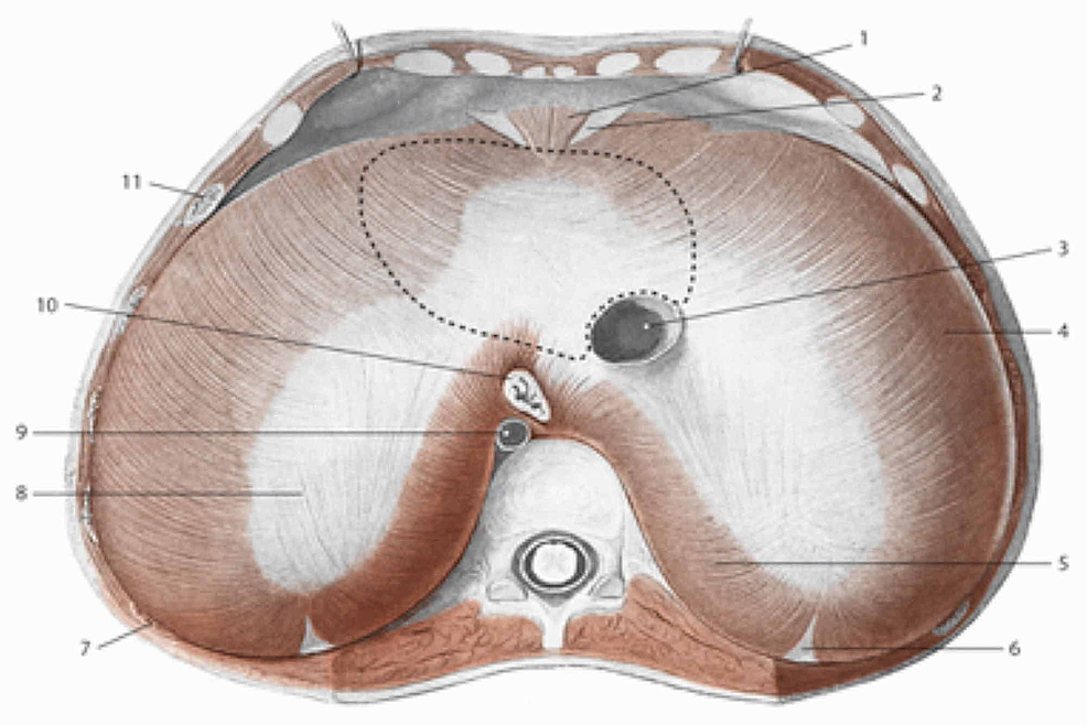 The-area-above-the-diaphragm:-the-dotted-line-for-the-support-of-heart-3:-inferior-vena-cava;-10:-esophagus;-9:-aorta;-8:-tendinous-center;-5:-lumbar-area