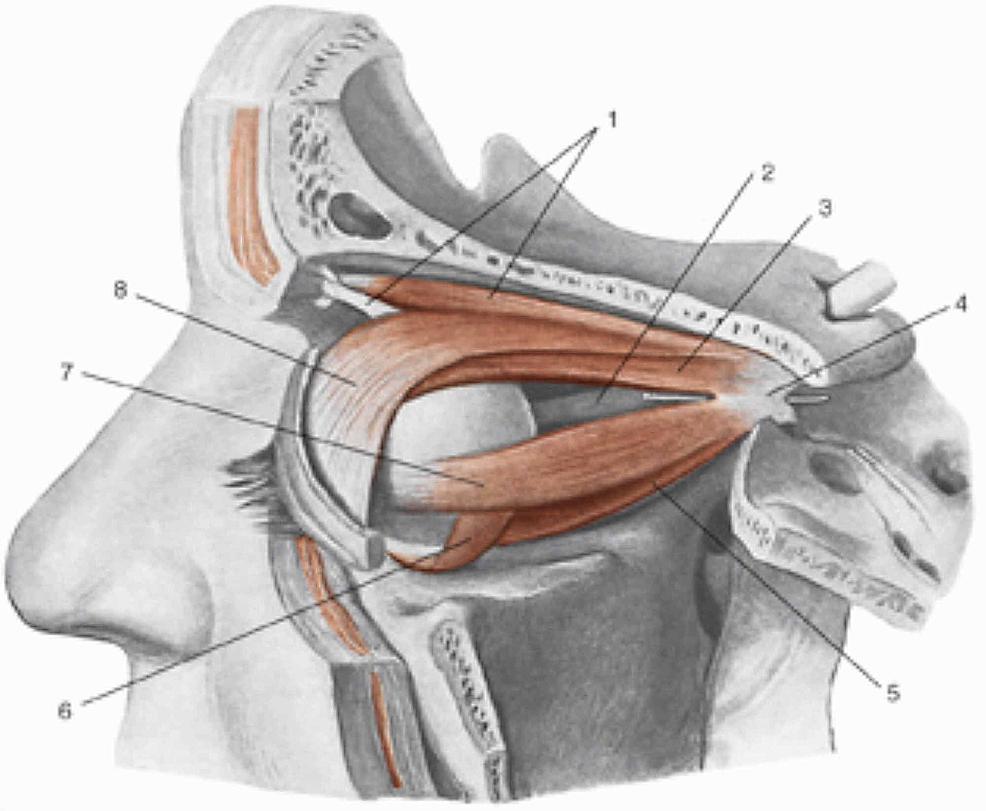 1,-Superior-oblique-muscle;-2,-optic-nerve;-3,-superior-rectus-muscle;-4,-tendinous-ring-of-Zinn;-5,-inferior-rectus-muscle;-6,-inferior-oblique-muscle;-7,-lateral-rectus-muscle;-8,-superioris-levator-palpebrae-muscle.-