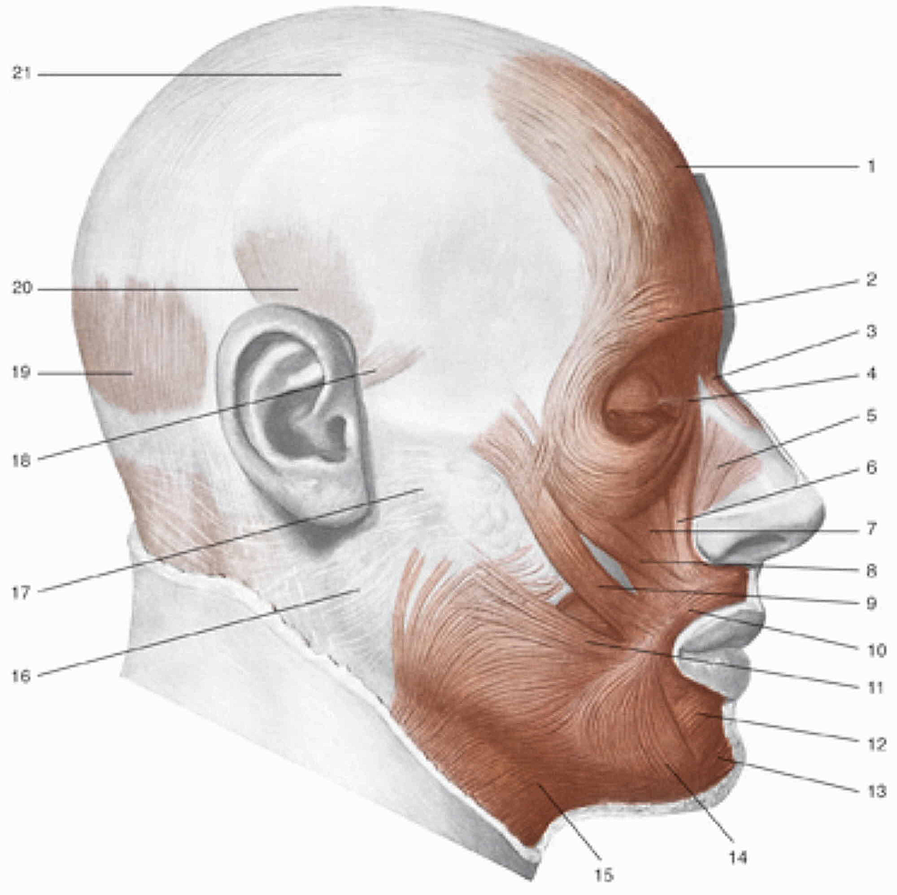 1,-Frontal-muscle;-2,-orbicularis-oculi-muscle,-part-of-the-eyelid;-3,-procerus-muscle;-4,-medial-palpebral-ligament;-5,-nasal-muscle;-6,-levator-muscle-of-the-upper-lip-and-of-the-wing-of-nose-muscle;-7,-levator-of-the-upper-lip-muscle;-8,-small-zygomatic-muscle;-9,-great-zygomatic-muscle;-10,-orbicularis-oris-muscle;-11,-risorio-muscle;-12,-squared-muscle-of-the-inferior-lip;-13,-mentalis-muscle;-14,-triangular-muscle;-15,-platysma-muscle;-16,-parotid-fascia;-17,-fascia-masseter;-18,-anterior-auricular-muscle;-19,-occipital-muscle;-20,-temporoparietal-and-upper-auricular-muscles;-21,-aponeurotic-galea.-