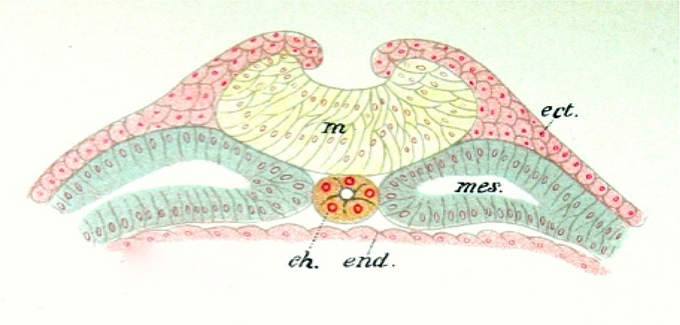 Schematic-of-the-Amphibian-Notochord-(ch)-and-Related-Germ-Cell-Layers-(From-Jakob's-Atlas-of-the-Nervous-System,-1901)