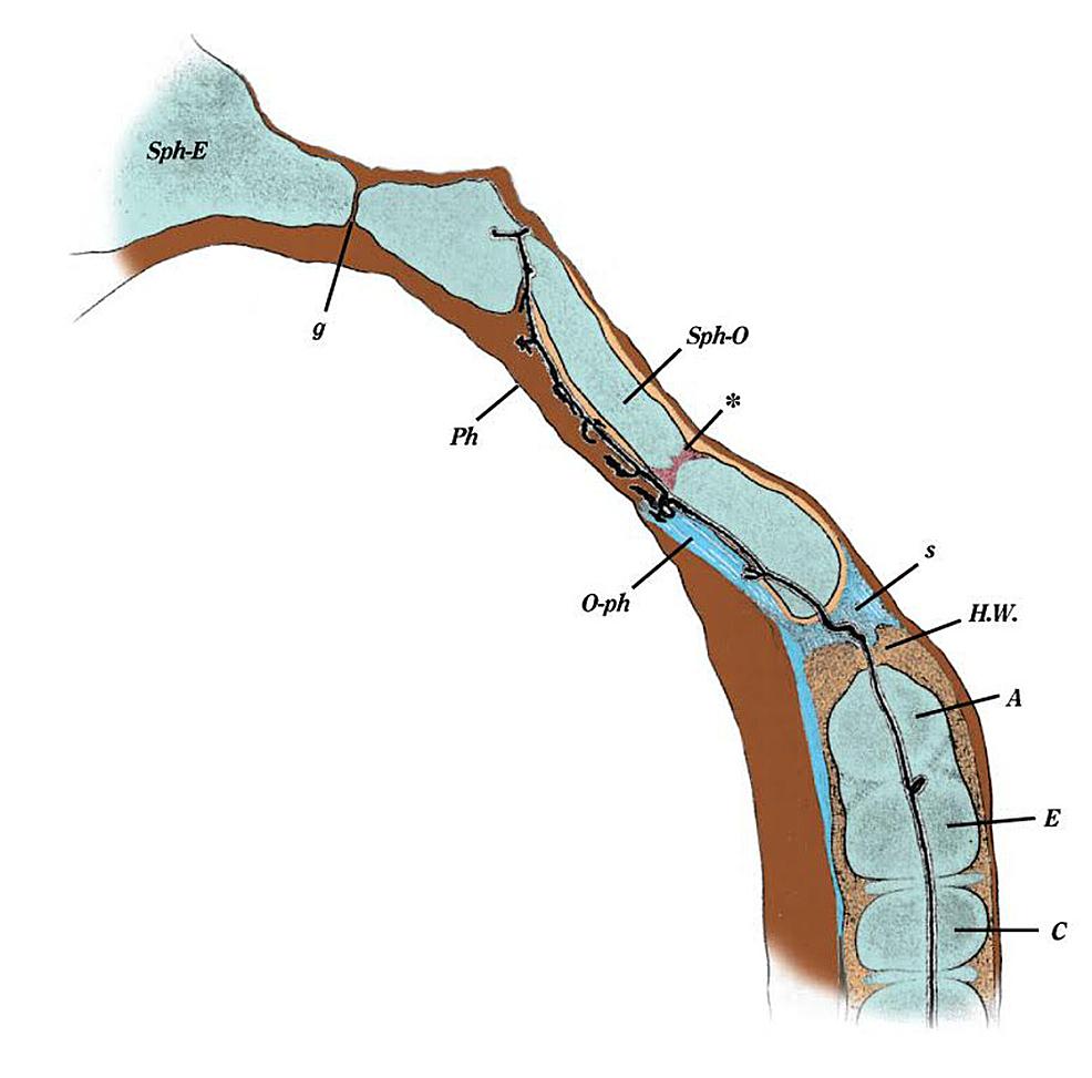 Sagittal-Section-Through-C2-Vertebra-and-Skull-Base-