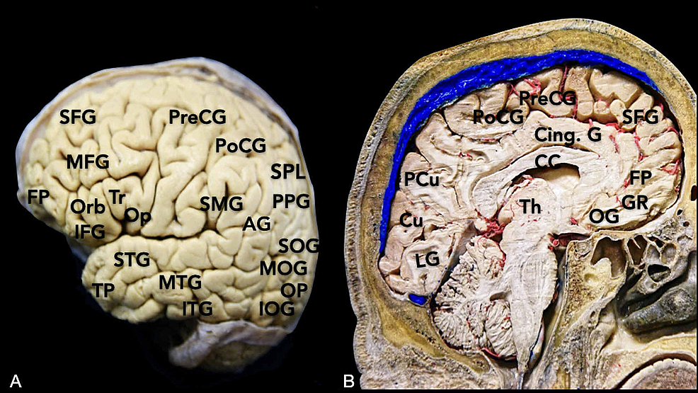 Overview-of-the-main-cortical-gyri:-(A)-lateral-surface-and-(B)-medial-surface-of-the-brain.