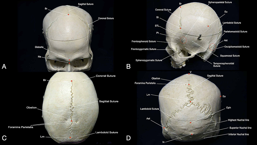 Overview-of-main-sutures,-suture-junction-points,-and-prominences-of-the-human-skull:-(A)-anterior-view,-(B)-lateral-view,-(C)-superior-view,-and-(D)-posterior-view.