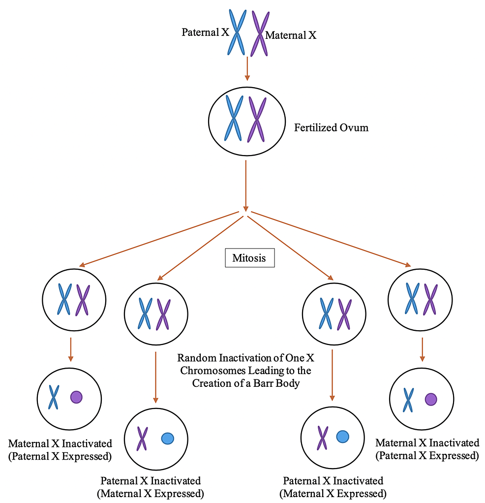 Process-of-X-inactivation-creating-Barr-bodies