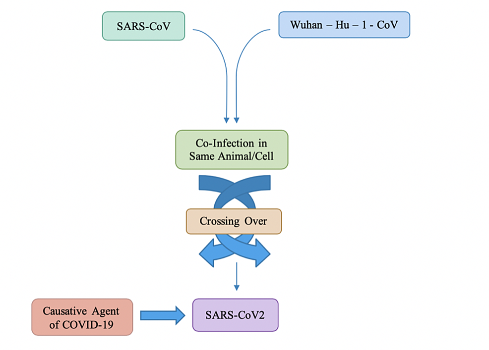 Crossing-over-due-to-co-infection-causing-COVID-19