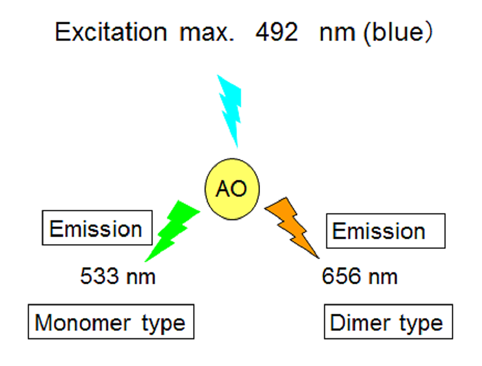 Excitation-and-emission-(metachromasia)-of-AO