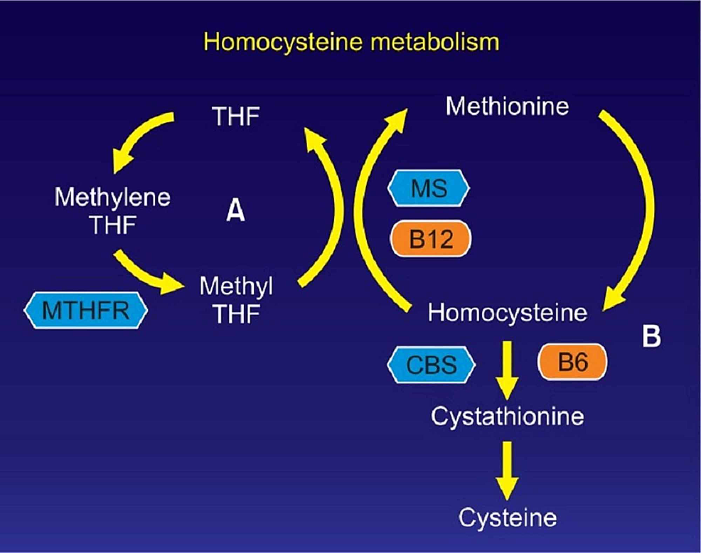 Interdependence-of-homocysteine-and-B12.