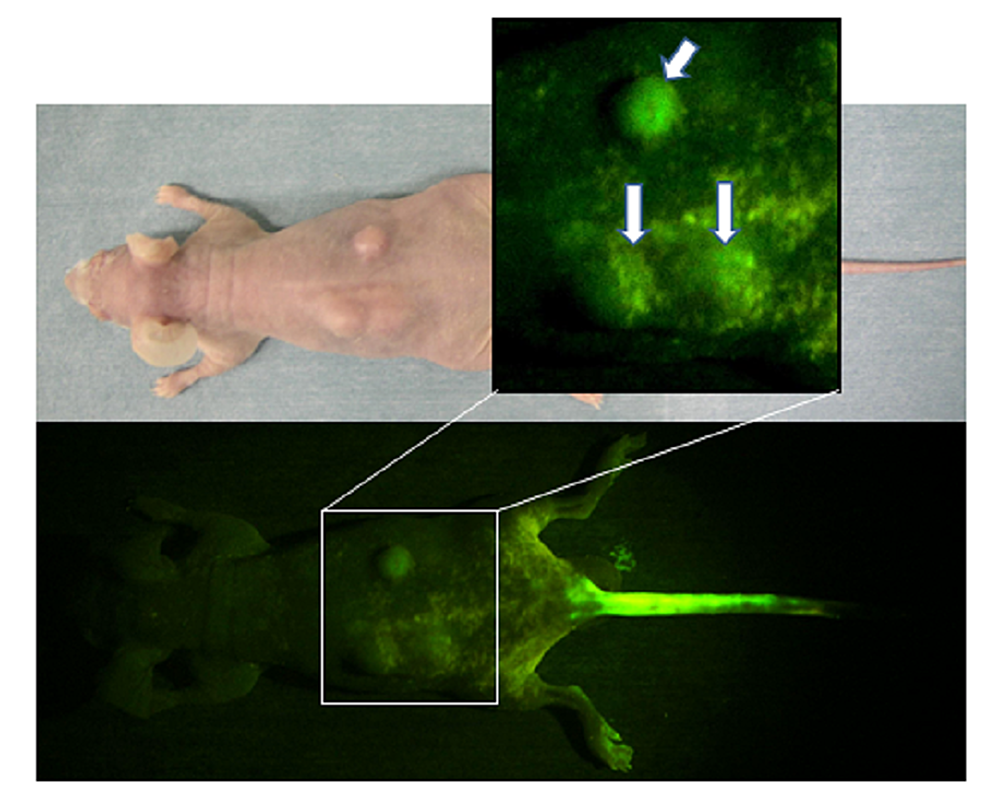 Macroscopic-fluorescence-view-of-mouse-osteosarcoma-subcutaneously-inoculated-in-the-back-of-nude-mouse-after-blue-light-excitation-at-two-hours-after-AO-injection-through-the-tail-vein-(see-text)