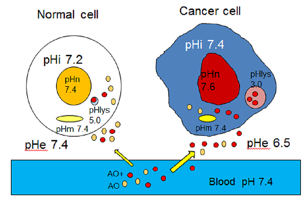 AO-accumulation-mechanism-speculated-by-the-pH-partition-theory-in-normal-and-cancer-cells-in-vivo