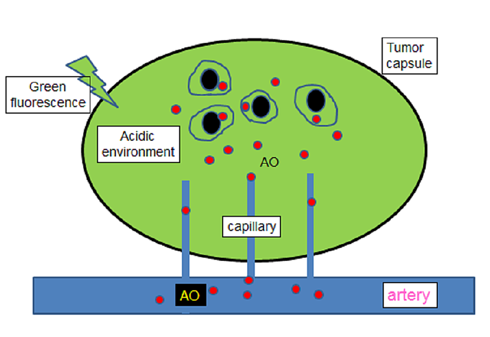 AO-accumulation-in-encapsulated-tumor-tissue-by-systemic-administration-(see-text)