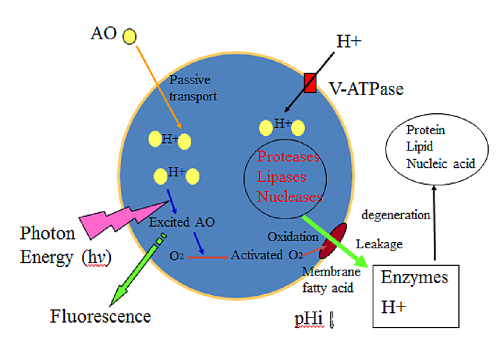 Process-of-lysosomal-destruction-by-AO-PDT-(see-text)