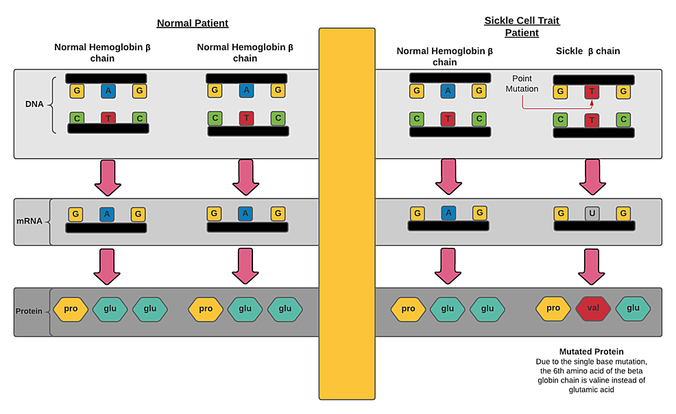 Comparison-of-β-globin-chains-of-hematologically-normal-and-sickle-cell-trait-patients