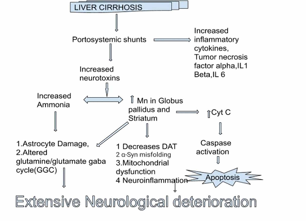 Role-of-manganese-in-acquired-hepatocerebral-degeneration.-The-idea-for-the-figure-was-adopted-from-the-article-'-Recent-Updates-on-Acquired-Hepatocerebral-Degeneration'.-However,-this-figure-was-modified-according-to-our-study's-requirement.