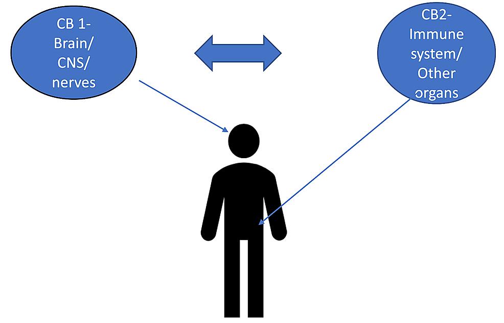CB1-versus-CB2-receptors