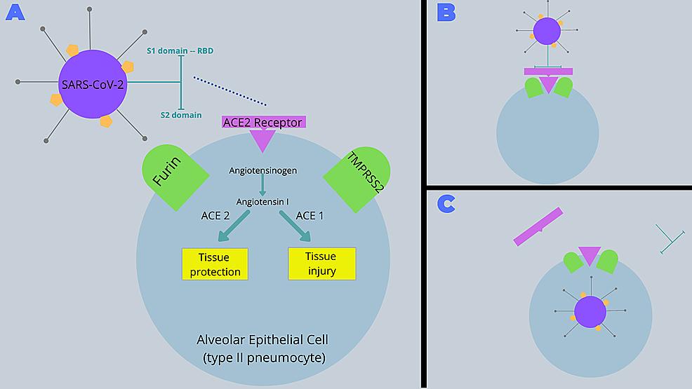 Pathogenesis-of-SARS-CoV-2