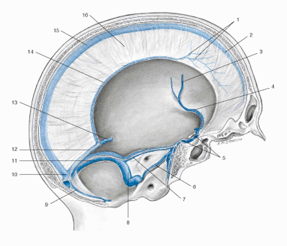 Representation-of-the-venous-sinuses-of-the-dura-mater-in-a-sagittal-section-of-the-skull.-1-Veins-of-the-dura-mater;-2-Superior-sagittal-sinus;-3-Left-middle-cerebral-vein;-4-Left-sinus-sphenoparietal;-5-Intercavernous-sinus;-6-Left-inferior-petrosal-sinus;-7-Left-superior-petrosal-sinus;-8-Left-sigmoid-sinus;-9-Occipital-sinus;-10-Confluence-of-sinuses;-11-Left-transverse-sinus;-12-Straight-sinus;-13-Great-cerebral-vein-(of-Galen);-14-Inferior-sagittal-sinus;-15-Superior-sagittal-sinus;-16-Falx-cerebri.