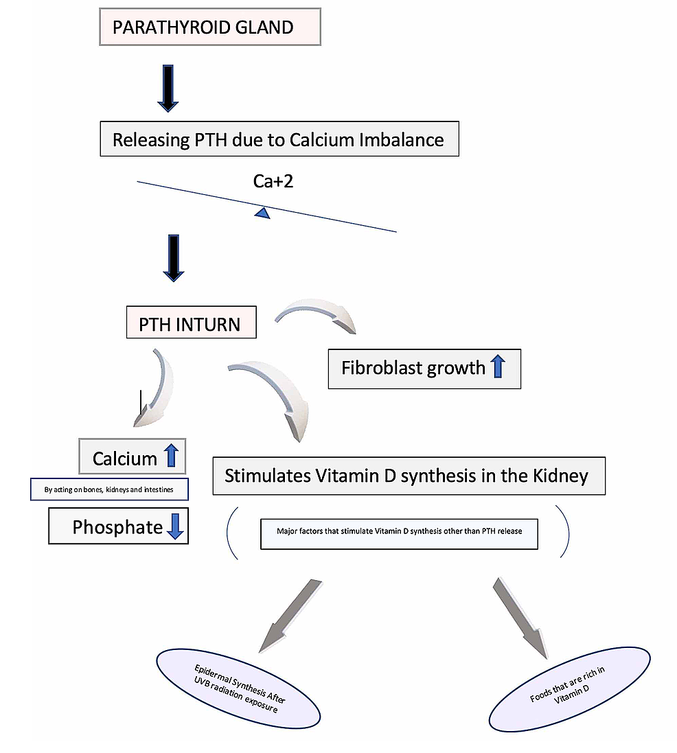 The-parathyroid-gland-due-to-any-sort-of-calcium-imbalance,-switches-on-the-negative-feedback-mechanism,-which-in-turn-releases-PTH-to-normalize-the-concentration-of-calcium-in-the-body.