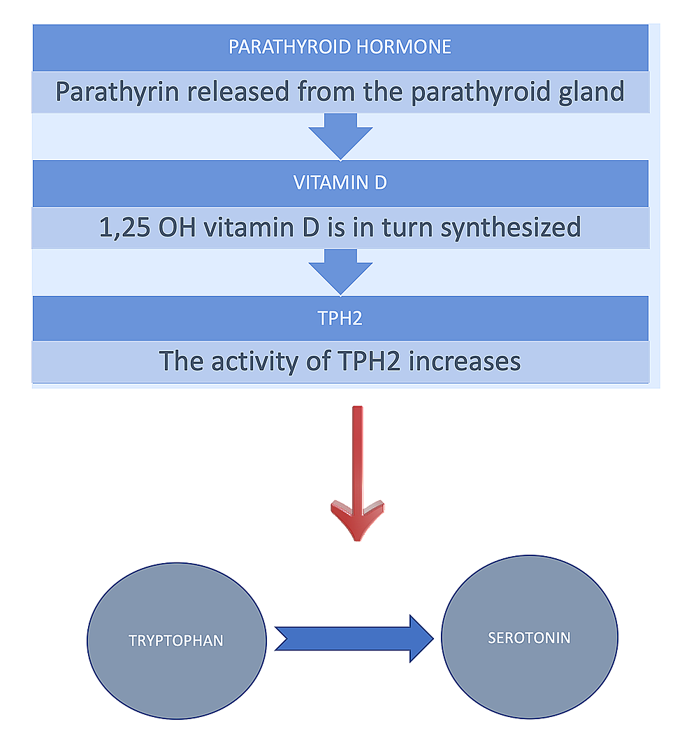 The-release-of-parathormone-from-the-parathyroid-gland,-synthesizes-vitamin-D,-which-in-turn-produces-TPH2.
