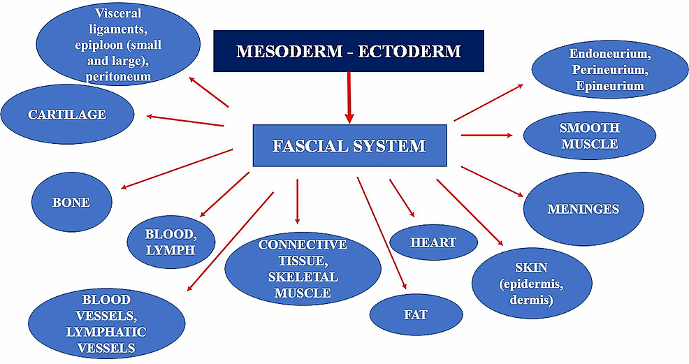 The-figure-illustrates-the-tissues-that-could-be-considered-as-fascial-tissue,-originating-from-the-mesodermal-and-ectodermal-sheets.