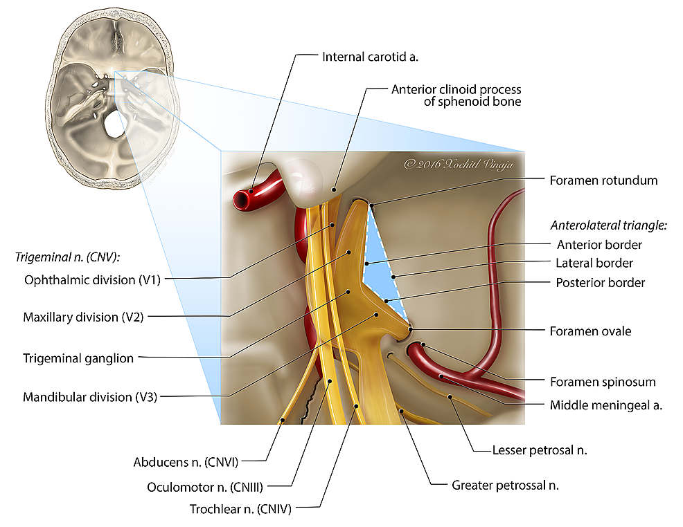 Illustration-of-the-anterolateral-triangle-viewed-superiorly
