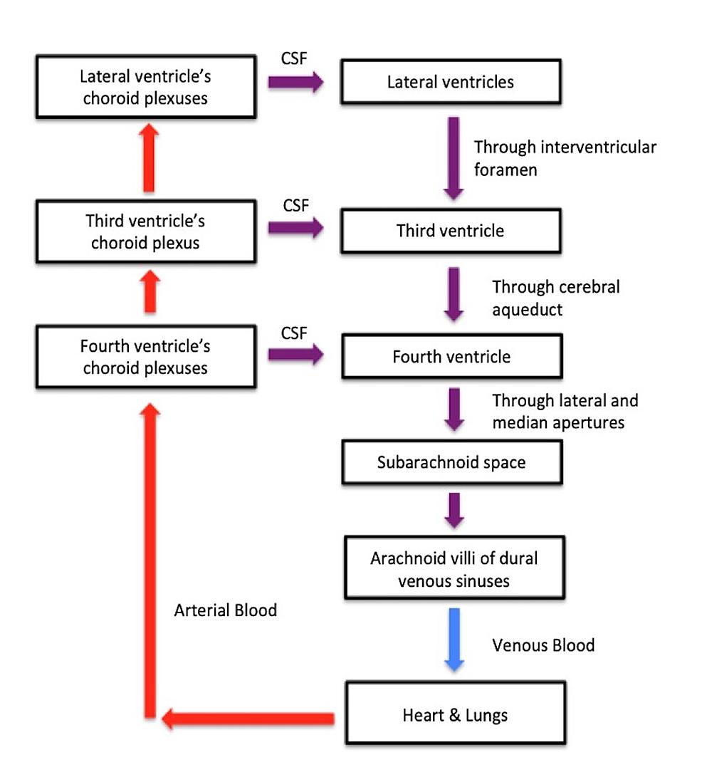 CSF-pathway
