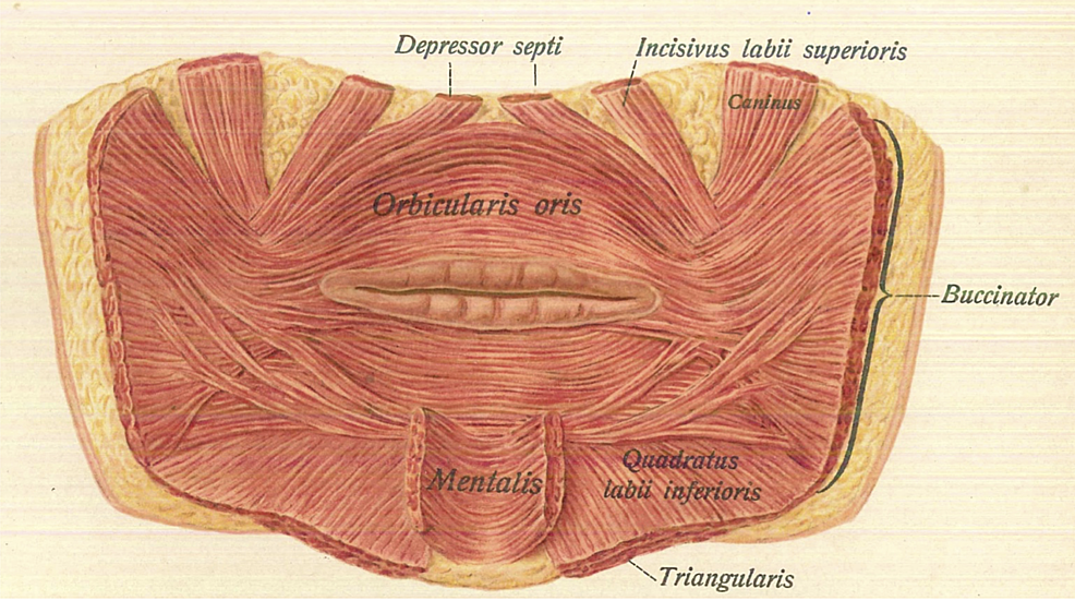Posterior-view-of-the-incisivus-labii-superioris-muscle.