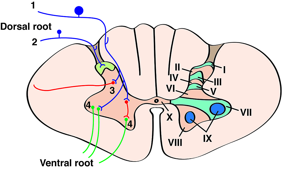 General-cross-sectional-anatomy-of-the-spinal-cord.