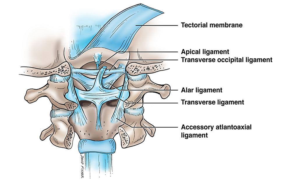 Schematic-drawing-of-the-ligaments-of-the-craniocervical-junction
