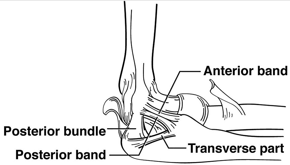 Schematic-drawing-of-the-ligaments-in-the-medial-elbow-joint