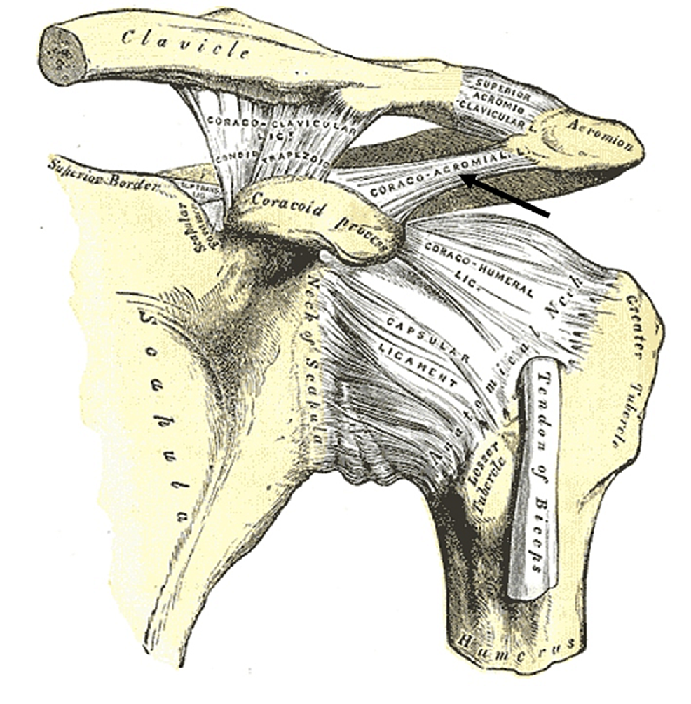 Anterior-view-of-the-left-shoulder-joint