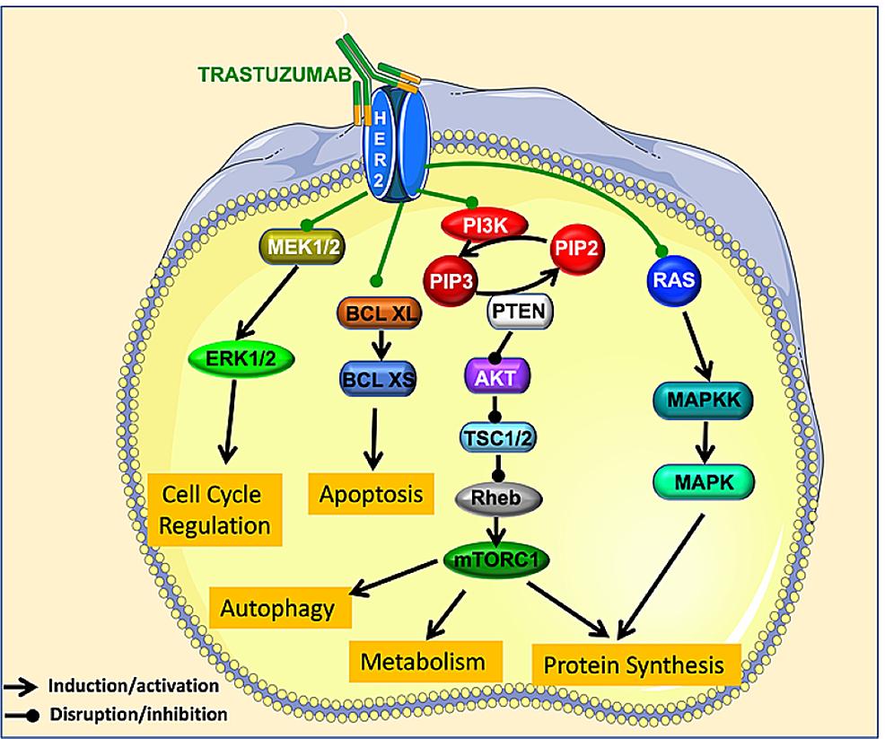 Cardiotoxicity-by-trastuzumab.