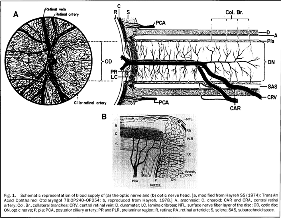 Cureus | A Review of the Vascular Anatomy of the Optic Nerve Head ...