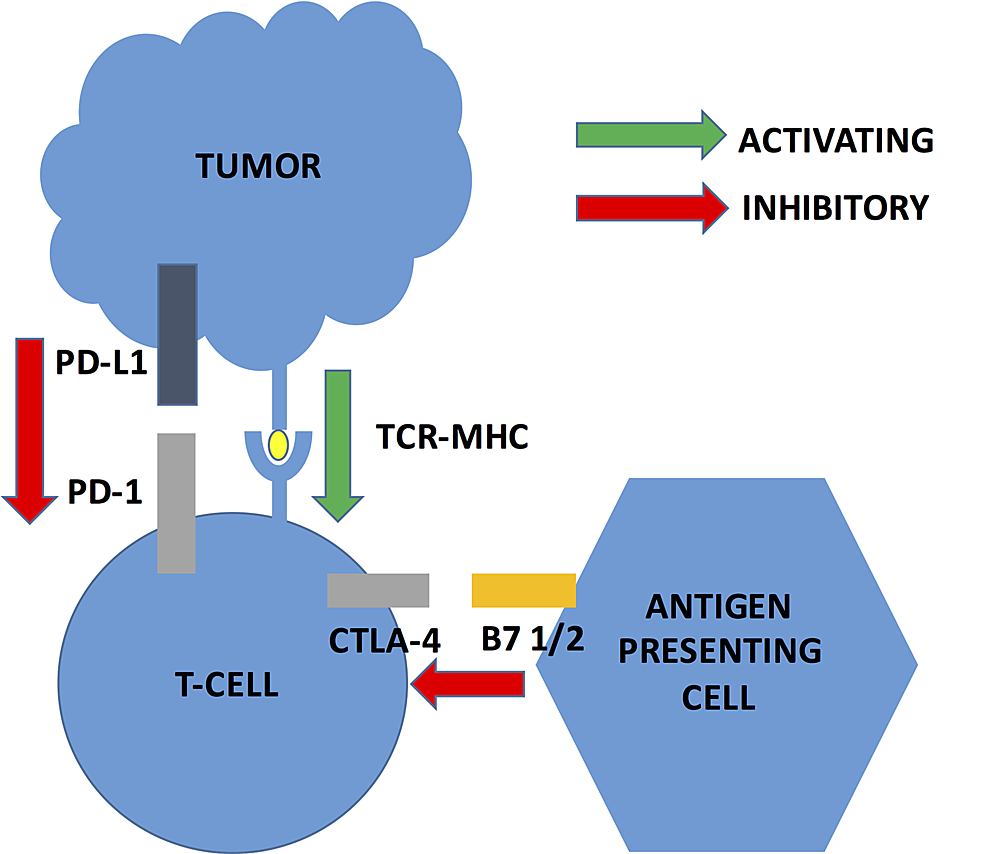 Major-checkpoint-inhibition-pathways-in-cancer-cells