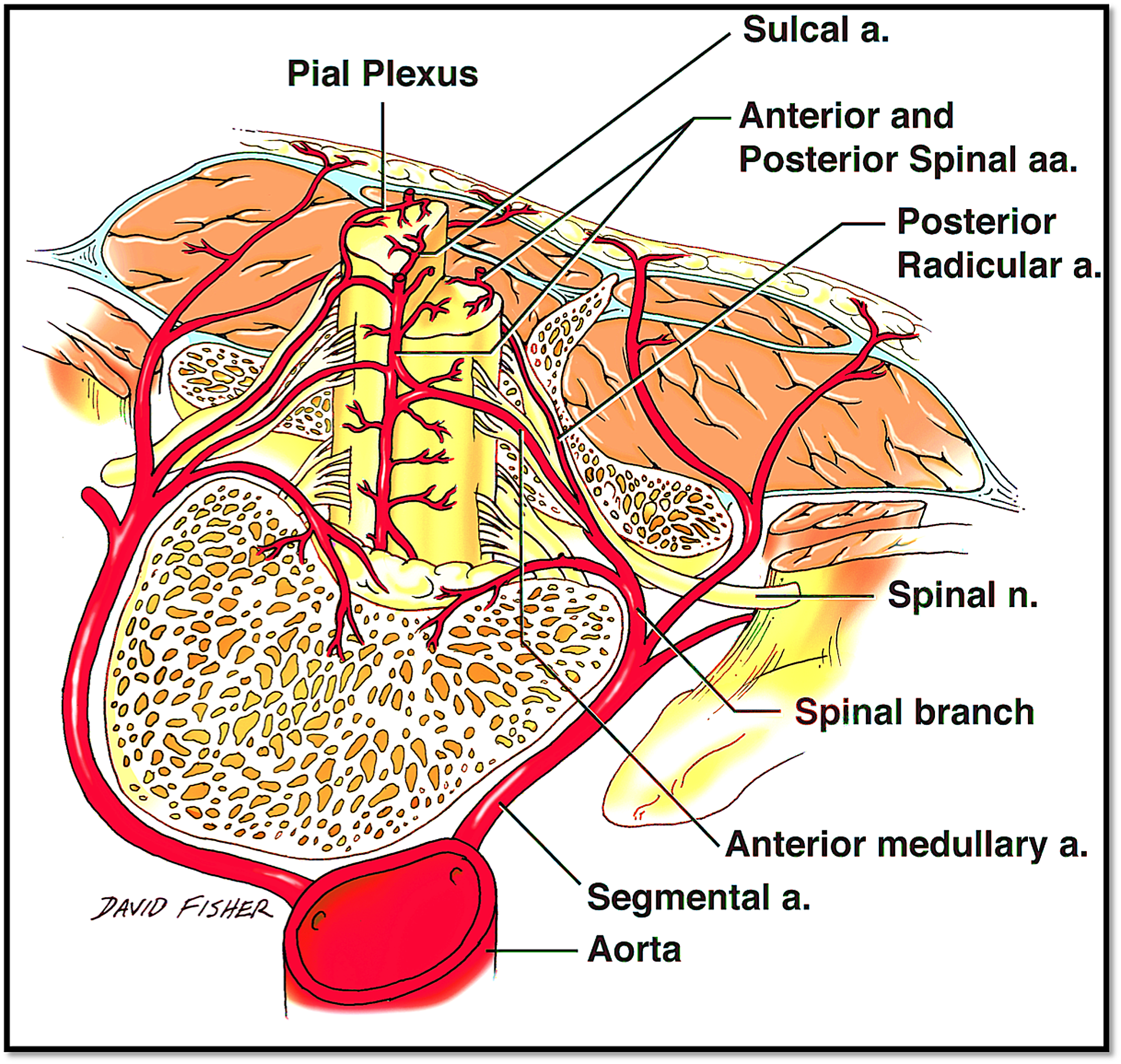 Cureus | Relationship between Regional Atherosclerosis and Adjacent ...