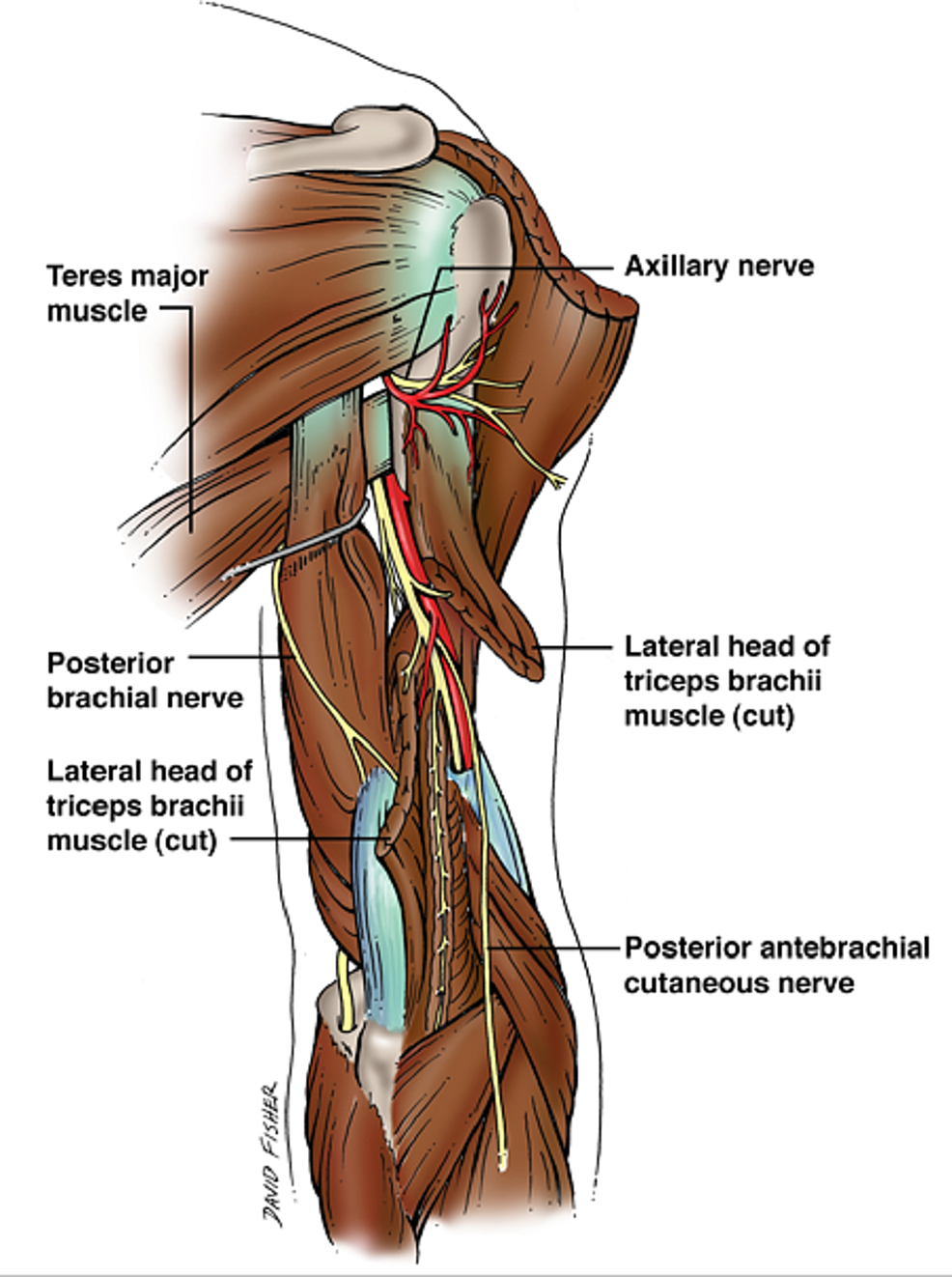 Cureus | Injury of the Radial Nerve in the Arm: A Review