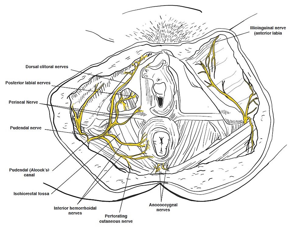 Vaginal-sensory-innervation