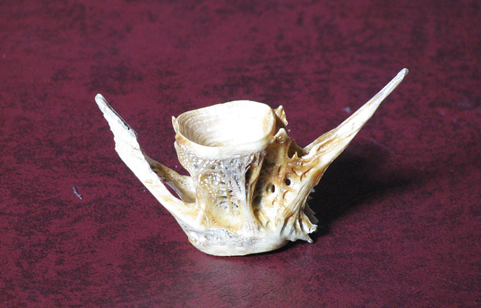 Vertebrae-of-a-fish