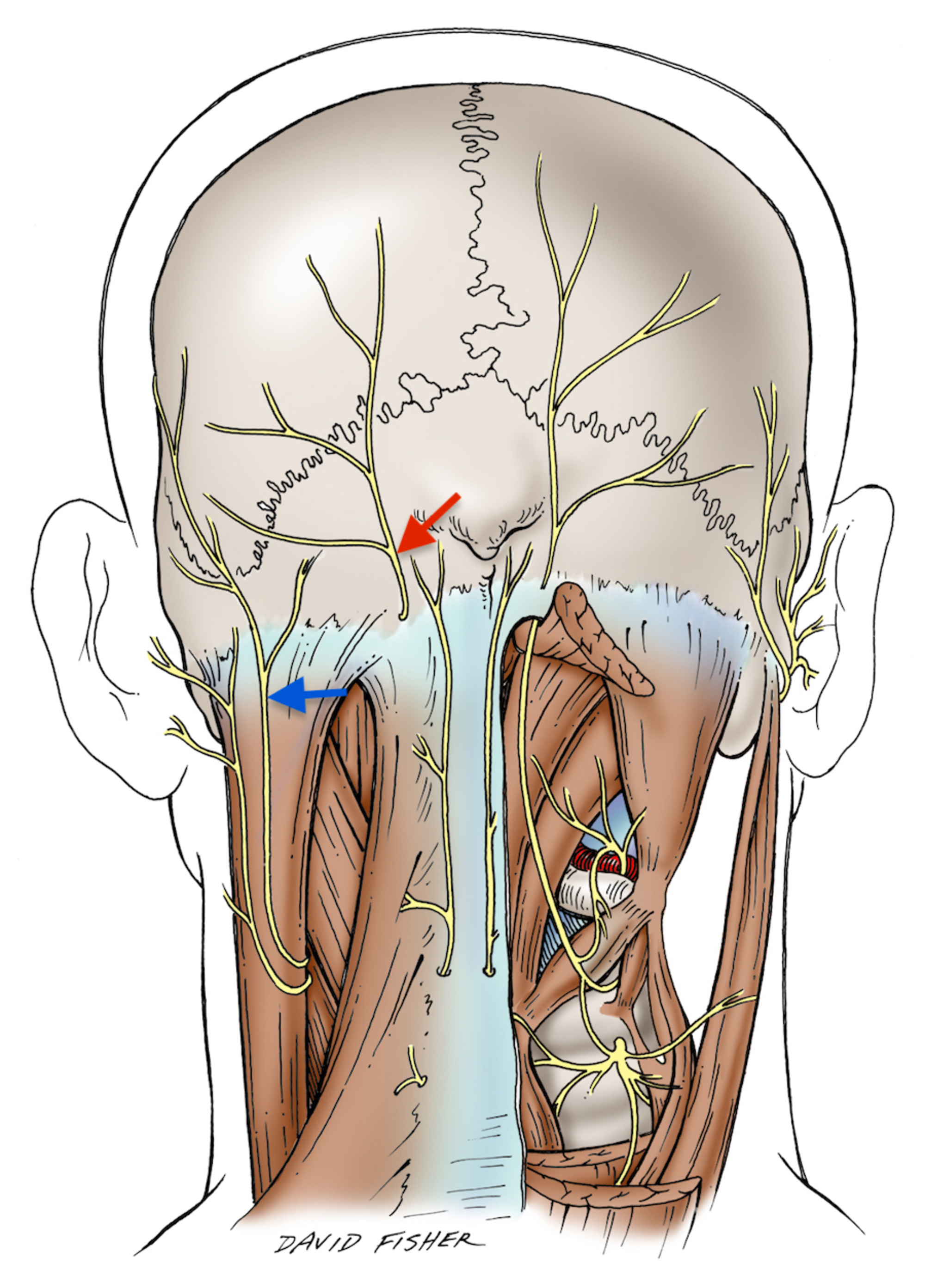 Cureus | Communication Between a Dorsal and Ventral Ramus: A ...