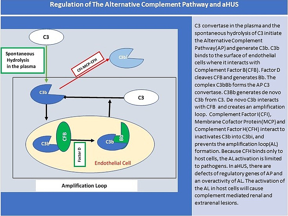 Regulation-of-the-alternative-complement-pathway-and-aHUS.