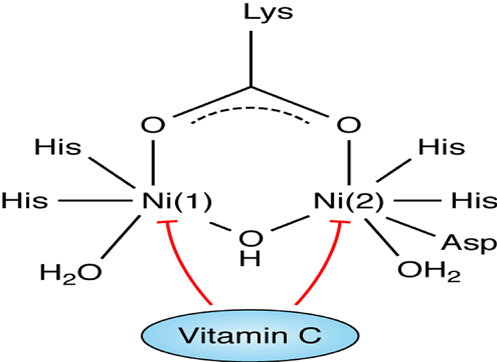 The-structure-of-urease-and-the-role-of-vitamin-C-as-an-inhibitor.