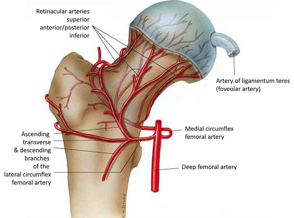 Cureus Osteonecrosis Of The Femoral Head Etiology Investigations