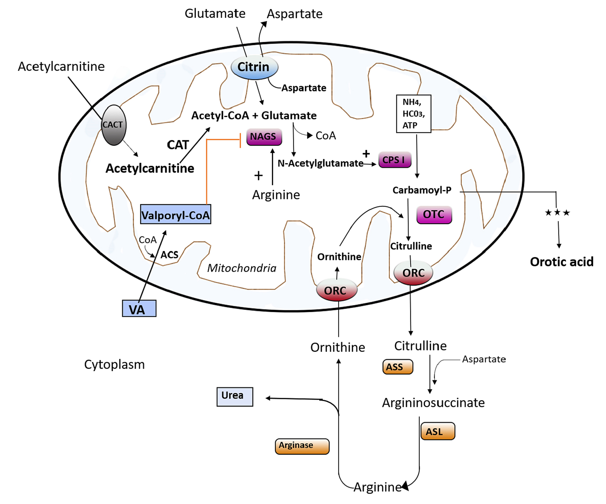 Recent advances in design of new urease inhibitors: a review.